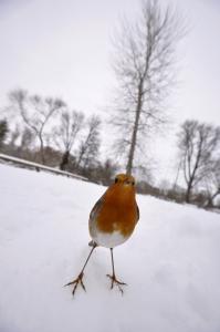 Vinghoe Robin
